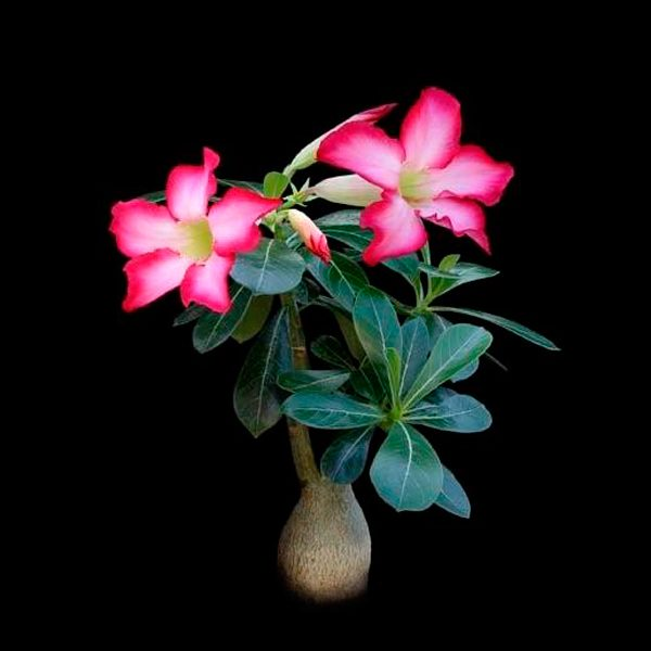 Adenium multiflorum seeds
