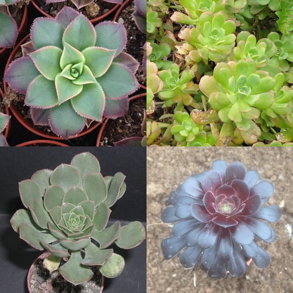 Aeonium mixed seeds