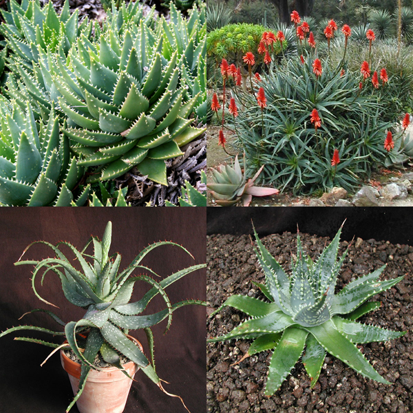 Aloe mixed seeds