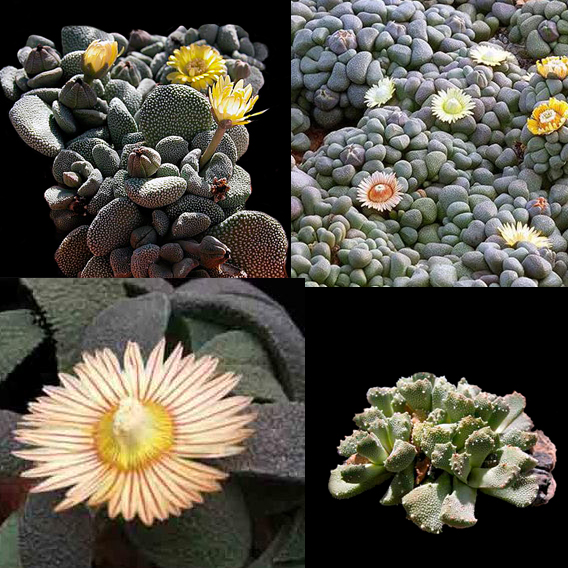 Aloinopsis mixed seeds