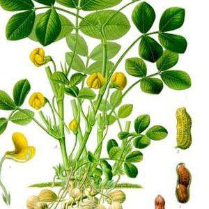 Arachis hypogaea (Peanut) seeds