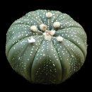 Astrophytum asterias seeds