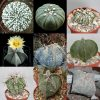 Astrophytum mixed seeds