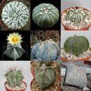 Astrophytum mixed seeds