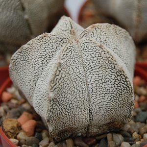 Astrophytum myriostigma Onzuka seeds