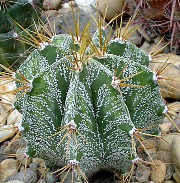 Astrophytum ornatum seeds