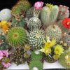 Cactus mixed seeds