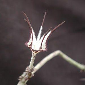 Ceropegia stapeliiformis cuttings