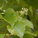 Cinnamomum camphora (Camphor tree) seeds