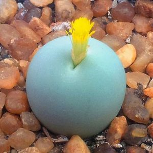 Conophytum calculus seeds