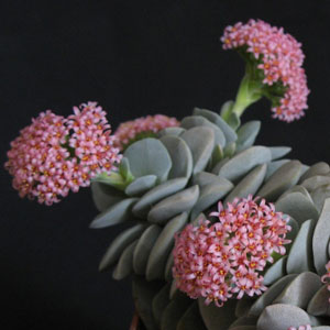 Crassula hybrid Morgans Beauty