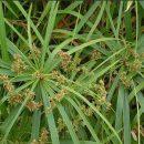 Cyperus alternifolius (Papyrus) seeds