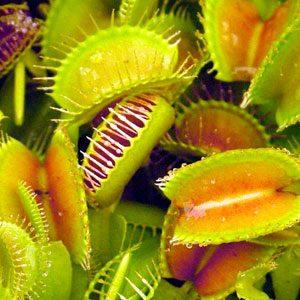 Dionaea muscipula (Venus Flytrap) seeds