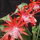 Disophyllum hybrid Fruhlingsahnen (red)