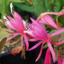 Disophyllum hybrid Claudia