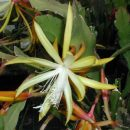 Disophyllum Fruhlingsgold hybrid