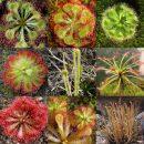 Drosera (Sundew) mixed seeds