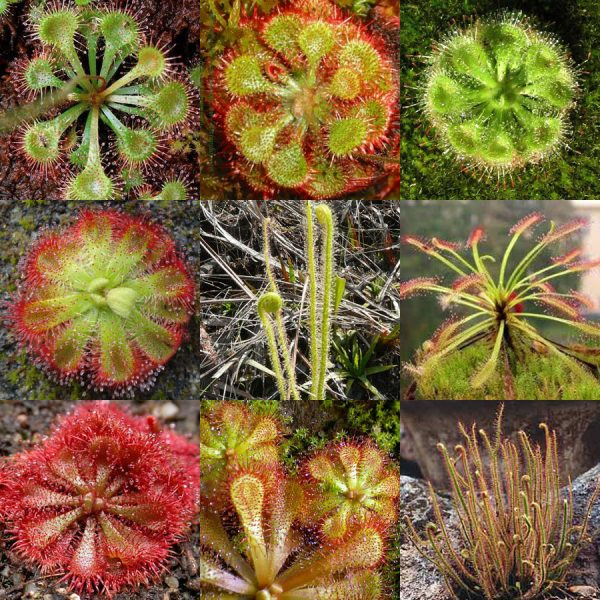 Drosera (Sundew) mixed seeds