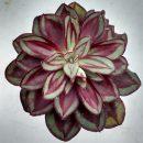Echeveria nodulosa cuttings