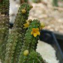 Echidnopsis cereiformis flavoflora