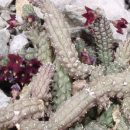Echidnopsis ciliata