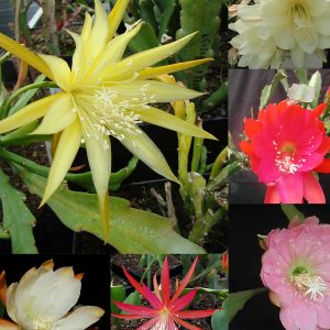Epiphyllum hybrid mixed seeds