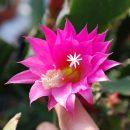 Epiphyllum hybrid Cleopatra Paetz cuttings