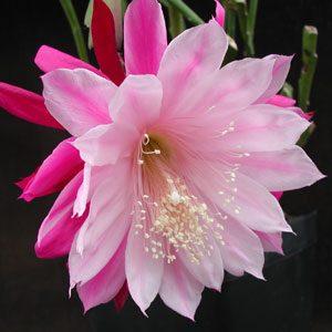Epiphyllum hybrid Daisy Dean cuttings
