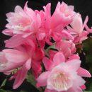 Epiphyllum hybrid Deutsche Kaiserin cuttings