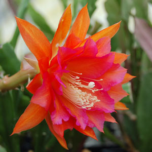 Epiphyllum hybrid Ein tolles Ding cuttings