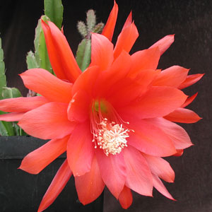 Epiphyllum hybrid Fantasie cuttings