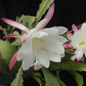 Epiphyllum hybrid Unschuld cuttings