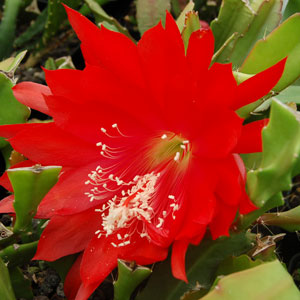 Epiphyllum hybrid Whitewatersrand cuttings
