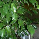 Ficus benjamina seeds