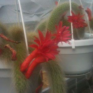 Hildewintera (Cleistocactus) colademononis