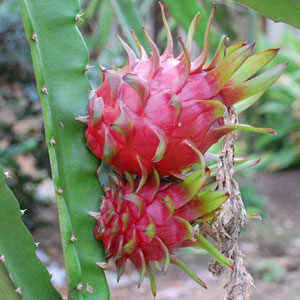 Hylocereus undatus (Dragon fruit) seeds