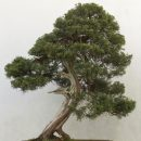 Juniperus chinensis seeds