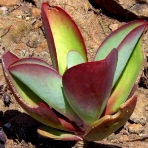 Kalanchoe paniculata (red leaves) seeds