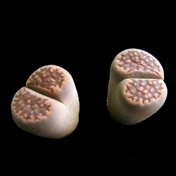 Lithops hallii seeds