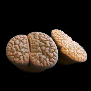 Lithops hookerii seeds