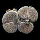 Lithops lesliei seeds