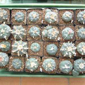 Lophophora williamsii habitat species