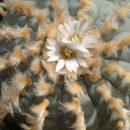 Lophophora williamsii albiflora seeds
