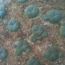 Lophophora williamsii caespitosa 10 Cactus Plants