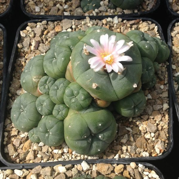 Lophophora williamsii (Peyote) Cluster XL