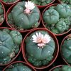 Lophophora williamsii (Peyote) cluster