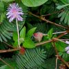 Mimosa pudica (touch-me-not) seeds