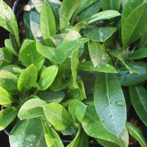 Pachypodium brevicaule seeds