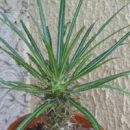 Pachypodium geayi seeds