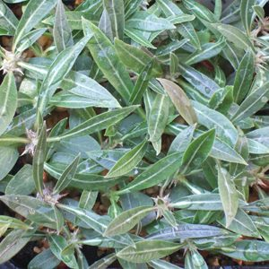 Pachypodium horombense seeds